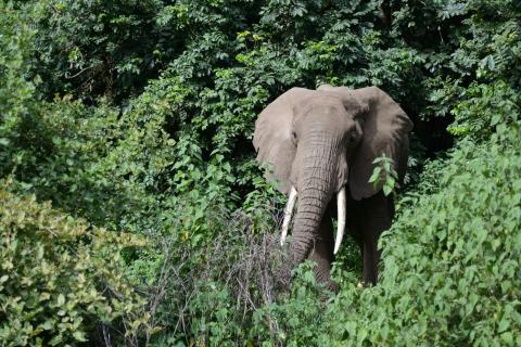 Elefante, Lake Manyara