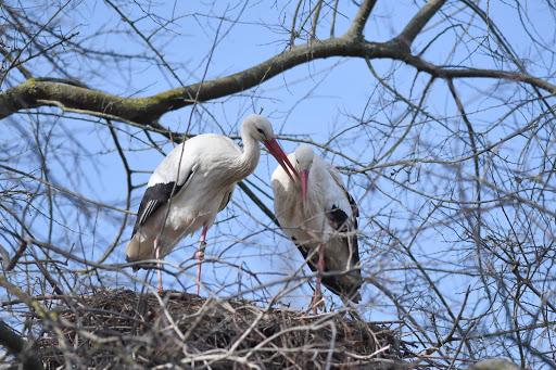 Lenny y su pareja (no me le sé el nombre) en su nido en el Basler Zolli